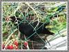Eudynamys scolopaceus (Asian Koel)
