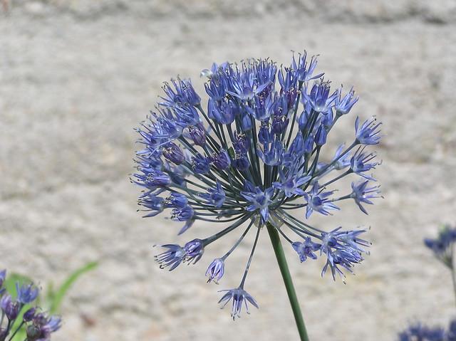 Allium caerulea