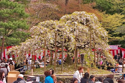【写真】桜 : 大原野神社