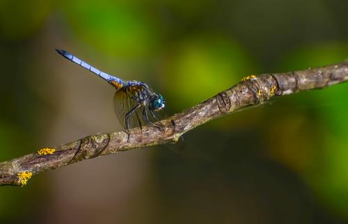 <p><i>Pachydiplax longipennis</i>, Libellulidae<br /> Grant Narrows, Pitt Meadows, British Columbia, Canada<br /> Nikon D5100, 70-300 mm f/4.5-5.6<br /> July 13, 2013</p>
