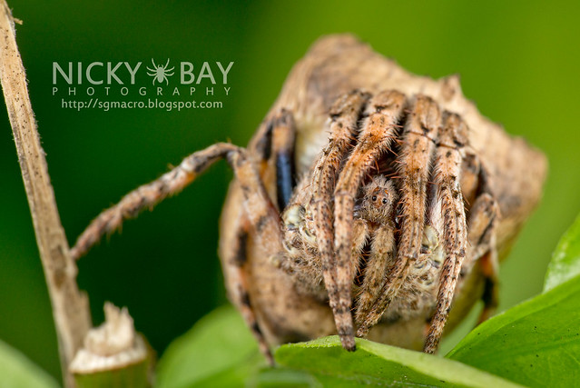 Tree Stump Orb Weaver (Poltys sp.) - DSC_9721