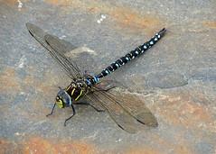 Common Hawker Aeshna juncea