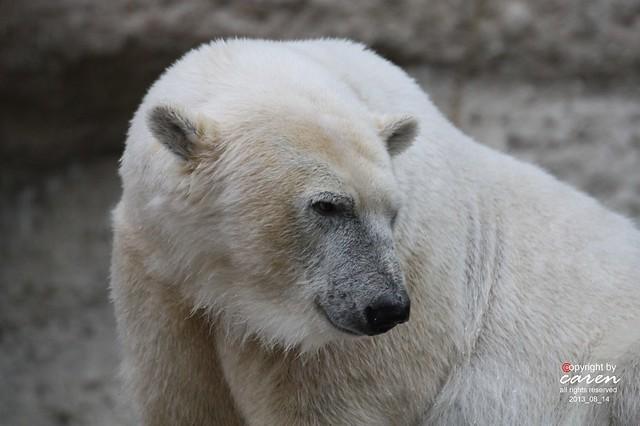 Eisbär Giovanna 2013_08_14 145