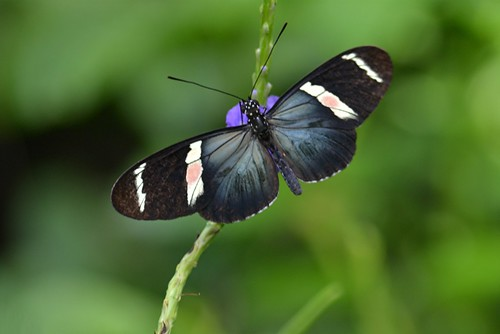 Heliconian with sheeny blue wings, white bands and unusual pink spots by jungle mama