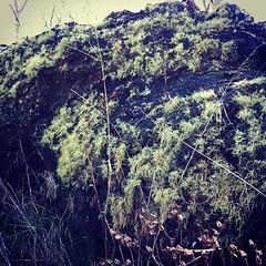 Living, no....liching the lichen :) #canberra #mtainslie