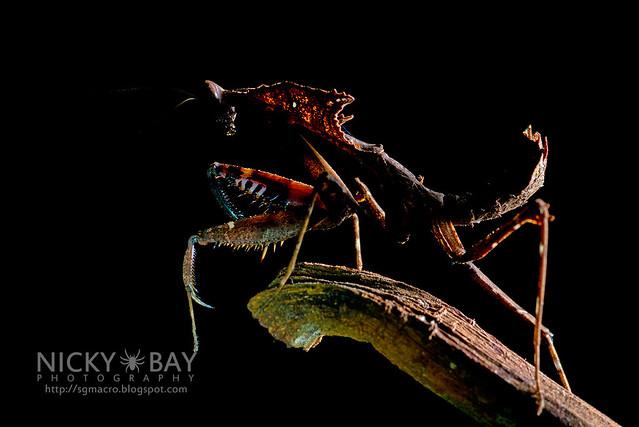 Dead Leaf Mantis (Deroplatys sp.) - DSC_3122