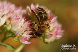Von Bienchen und Blüten [explored]