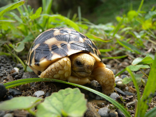 草地上的緬甸星龜。(圖片來源:台北市立動物園)