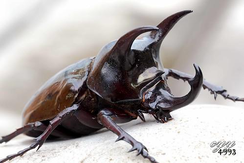 Giant Atlas Beetle Flickriver: Mos...