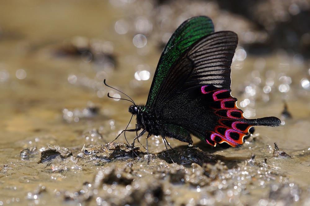 鳳蝶屬雙環翠鳳蝶-1