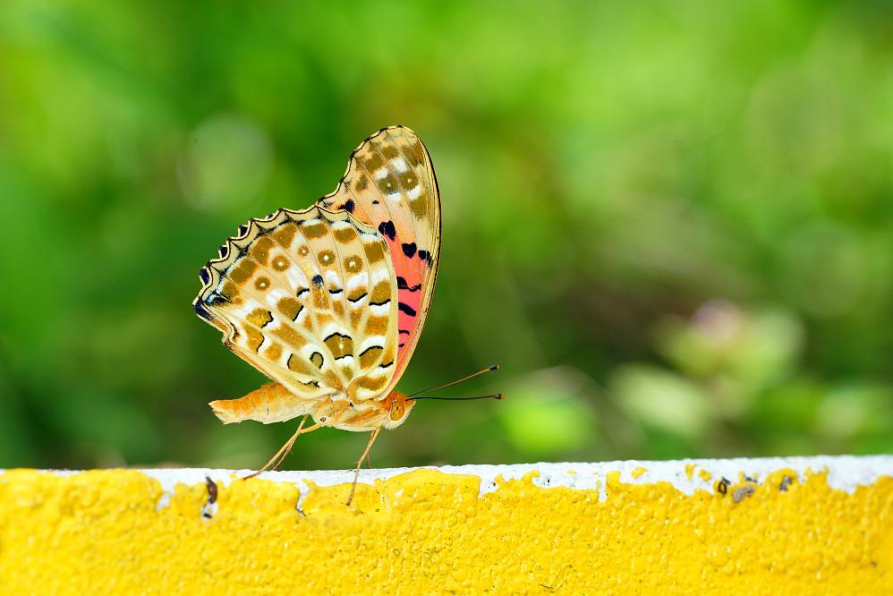 豹蛺蝶屬斐豹蛺蝶-1