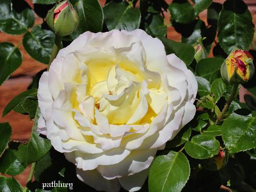 A beautiful pale rose in my garden