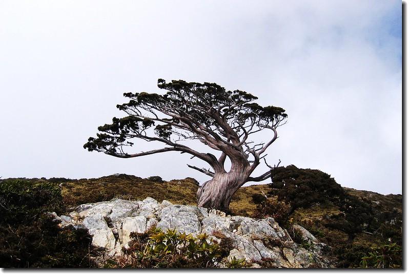 向陽名樹(玉山圓柏) 1