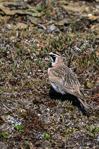 <p><i>Eremophila alpestris</i>, Alaudidae<br /> Whistlers, Jasper National Park, Alberta, Canada<br /> Nikon D5100, 70-300 mm f/4.5-5.6<br /> July 8, 2012</p>