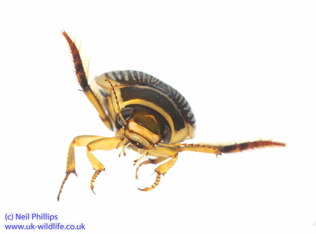 Wasp great diving beetle Dytiscus circumflexus-13
