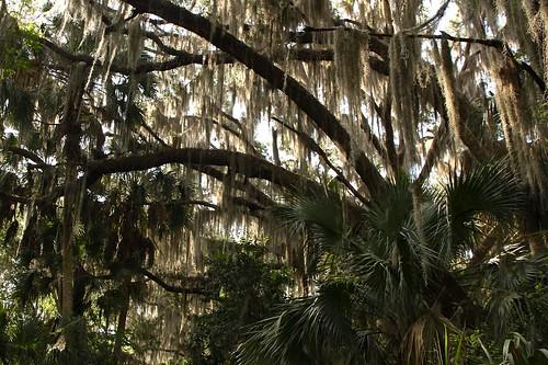 florida liveoak hammock spanishmoss photostream crosscreek marjoriekinnanrawlings