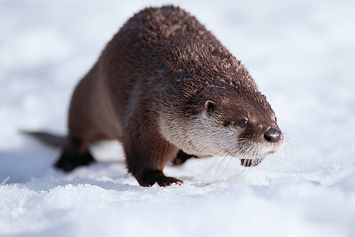 Wildlife in British Columbia, Canada: River Otter