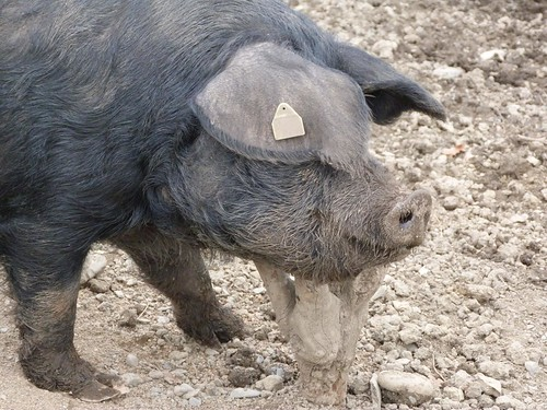 Cerdo negro de Bigorra