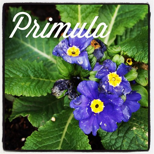 Garden Alphabet: Primula (Primrose) | A Gardener's Notebook with Douglas E. Welch