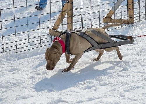 Dog Pulls 104-D7K_2559b