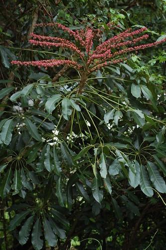 Schefflera actinophylla DSC_0034