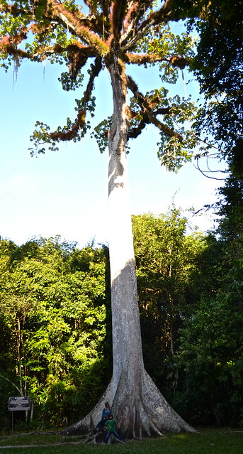 tikal guatemala flora - ceiba tree