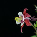 Columbine - Aquilegia 'Origami Red and White' by Cletus Lee
