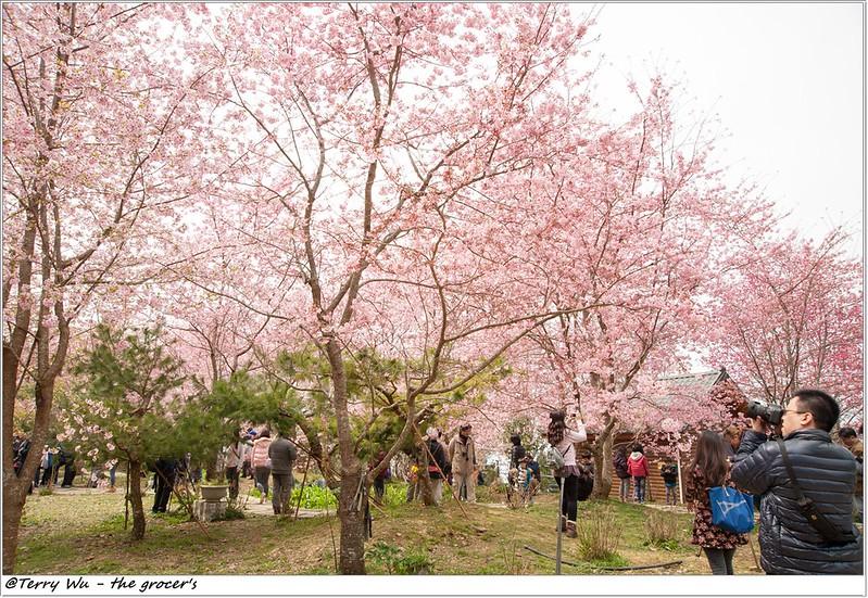2014-3-01 拉拉山櫻花-21