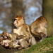 2+2 monkeys, pt.2 - Barbary Macaques by okrakaro