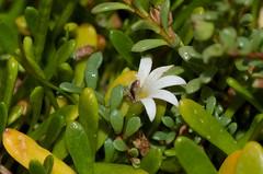 Selliera radicans in flower