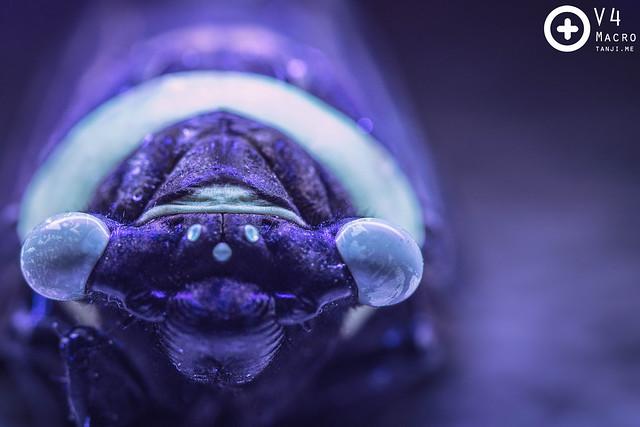 Cicada under UV