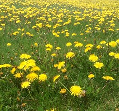 chamaemelum nobile(0.0), sulfur cosmos(0.0), lawn(0.0), pasture(0.0), annual plant(1.0), prairie(1.0), dandelion(1.0), flower(1.0), field(1.0), grass(1.0), yellow(1.0), plain(1.0), plant(1.0), flatweed(1.0), wildflower(1.0), flora(1.0), natural environment(1.0), meadow(1.0), grassland(1.0),