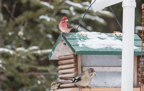 Evening  Grosbeak and Purple Finch