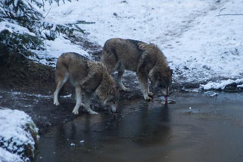 Wölfe trinken