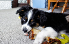 dog breed, animal, dog, appenzeller sennenhund, pet, miniature australian shepherd, entlebucher mountain dog, bernese mountain dog, carnivoran,