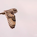 Short-Eared Owl at an overcast Orford