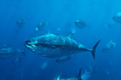 太平洋黑鮪魚群。(來源:WWF)