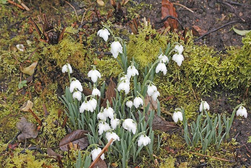 Waterperry Gardens - Snowdrop Weekend