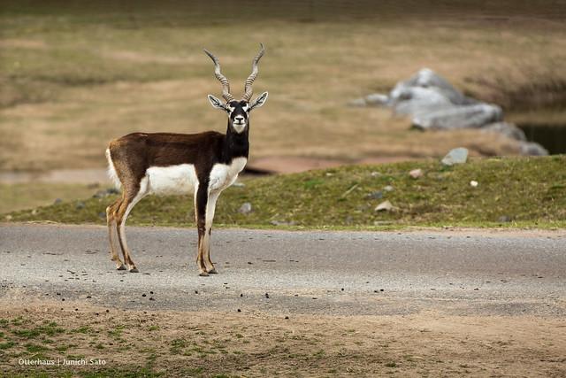 Blackbuck (Antilope cervicapra), Akiyoshidai Safari Land