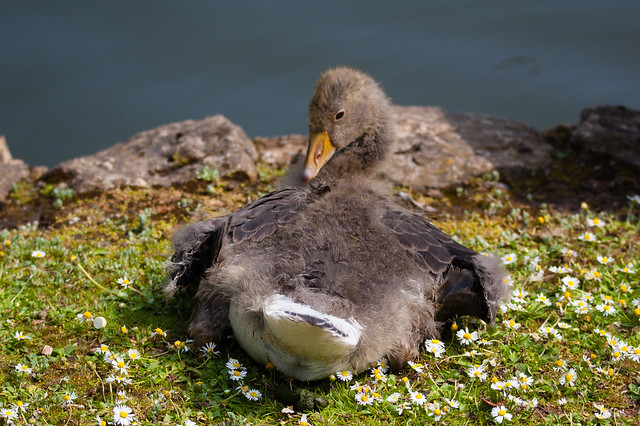 West Park gosling: adult feathers developing