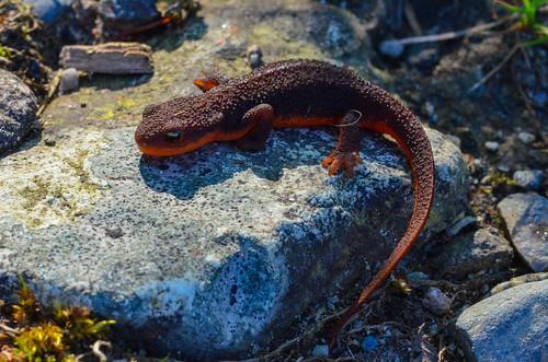 <p><i>Taricha granulosa</i>, Salamandridae<br /> Maplewood Conservation Area, North Vancouver, British Columbia, Canada<br /> Nikon D5100, 105 mm f/2.8<br /> May 5, 2013</p>