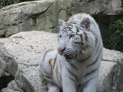 snow leopard(0.0), lion(0.0), animal(1.0), big cats(1.0), zoo(1.0), tiger(1.0), mammal(1.0), fauna(1.0), wildlife(1.0),