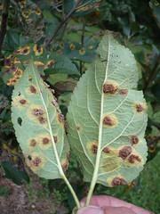 deciduous(0.0), shrub(0.0), flower(0.0), tree(0.0), produce(0.0), fruit(0.0), food(0.0), autumn(0.0), leaf(1.0), plant(1.0), flora(1.0), plant pathology(1.0),