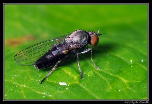 Agathomyia antennata femelle