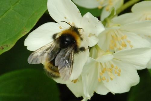 unnamed bumblebee #3