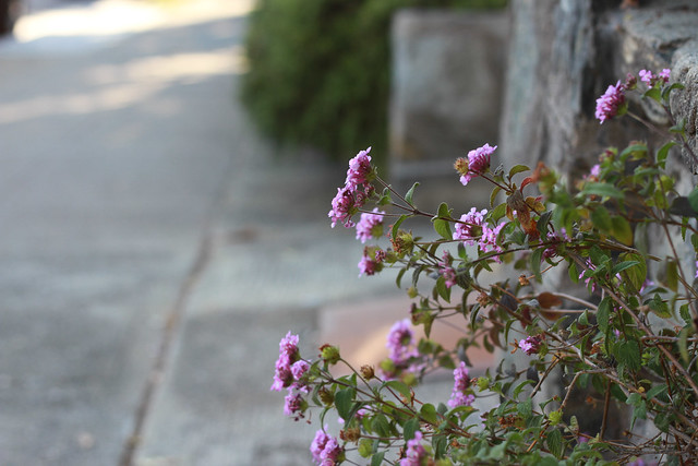 sidewalk lantana, mill valley