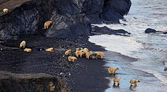 Sergey Gorshkov - Polar bear gathering