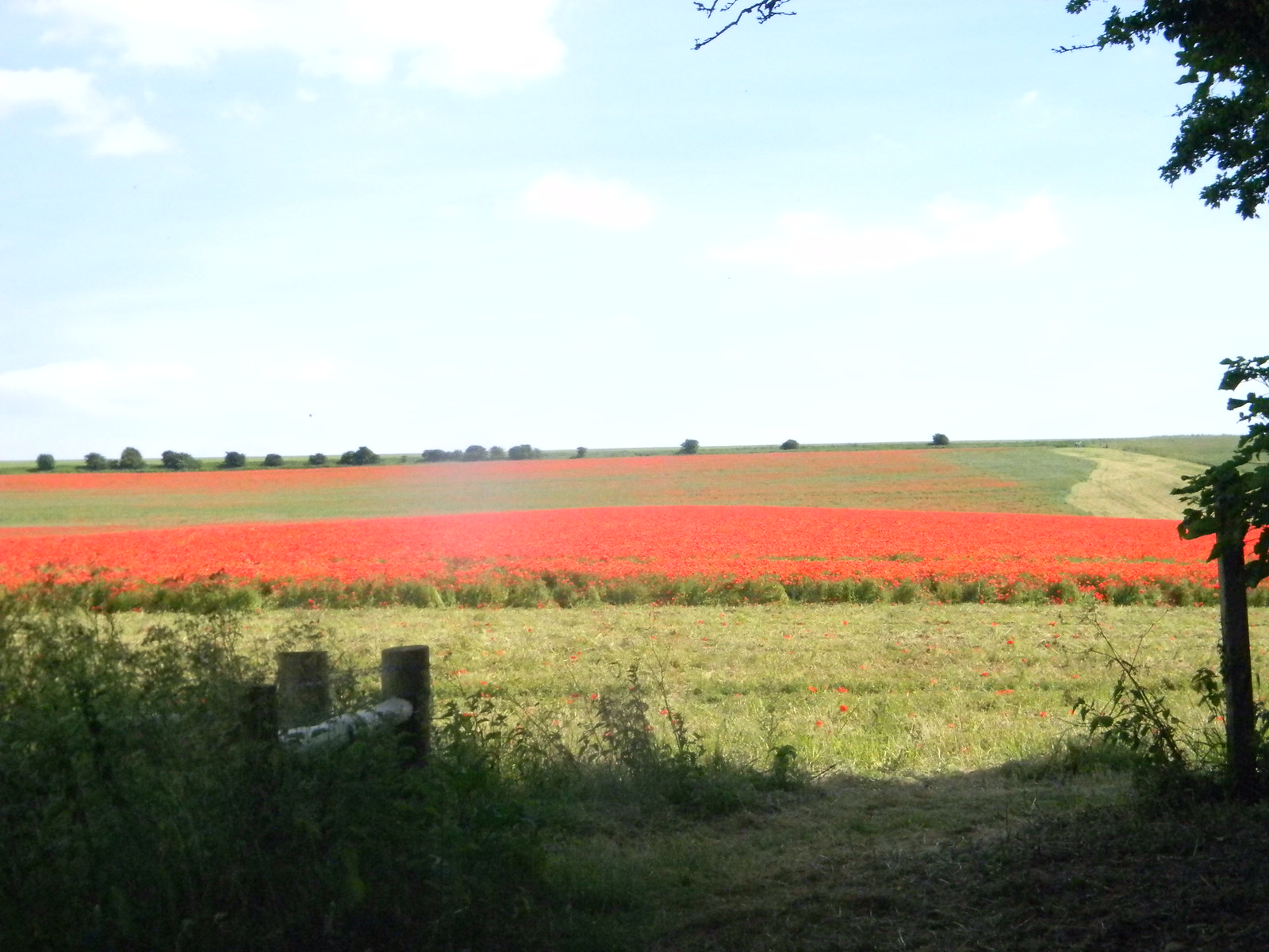 Poppy field near Falmer Hassocks to Brighton