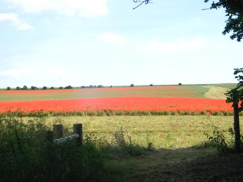 Poppy field near Falmer