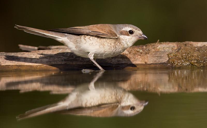 Red-backed Shrike [female]